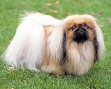 Пекинес Pekingese, pekingese-lion dog, Lion Dog, Chinese Spaniel, Pelchie Dog, Peking Palasthund, Peke