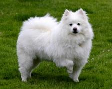 Американский эскимосский шпиц (Американская эскимосская собака) American Eskimo Dog, Eskie