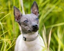 Американский голый терьер American Hairless Terrier
