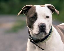 породы бойцовых собак с фотографиями