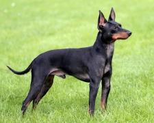 Английский той-терьер (той терьер) English Toy Terrier, Black and tan Toy Terrier, Toy Manchester Terrier