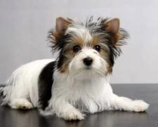 Бивер йоркширский терьер (бивер йорк) Biewer Terrier