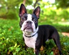 Бостон терьер (бостонский терьер) Boston Terrier
