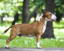Бультерьер миниатюрный Miniature Bull Terrier