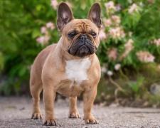 Французский бульдог French Bulldog, Bouledogue Français