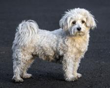 Гаванский бишон (хаванез, гаванская болонка) Havanese dog