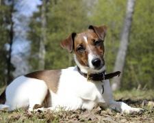 Гладкошерстный фокстерьер Smooth Fox Terrier