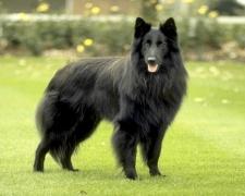 Бельгийская овчарка грюнендаль Belgian Shepherd Dog, Groenendael