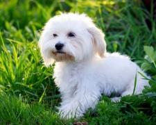 Мальтийская болонка (мальтезе) Maltese, Maltese lion dog, Ancient Dog of Malta, Roman Ladies' Dog, Melita