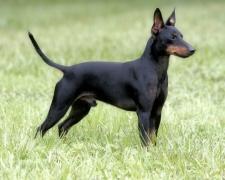 Манчестерский терьер Manchester Terrier