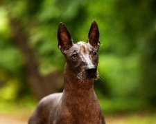 Мексиканская голая собака (ксолойтцкуинтли) Mexican Hairless Dog, Xoloitzcuintli