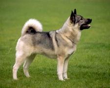 Норвежский элкхаунд Norwegian Elkhound