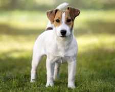 Парсон рассел терьер Parson Russell Terrier