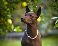 Перуанская голая собака Peruvian Hairless Dog