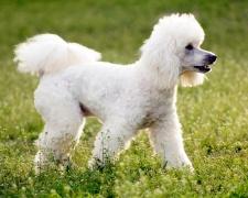 Пудель Poodle, Pudle, Caniche, Barbone