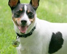 Рэт терьер (терьер крысолов) Rat Terrier