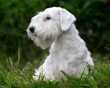 Силихем-терьер Sealyham Terrier, Welsh Border Terrier, Cowley Terrier