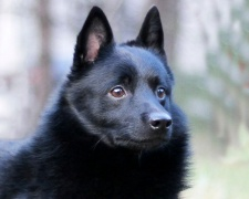 Шипперке (шкиперская собака, схипперке) Schipperke, Spitzke, Spits, Spitske