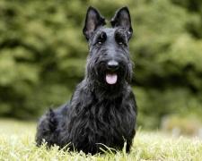 Скотч-терьер (шотландский терьер) Scottish Terrier, Scottie, Aberdeenie