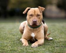 Стаффордширский бультерьер Staffordshire Bull Terrier, Staffy, Staff, SBT, Stafford, Staffy Bull, Staffross