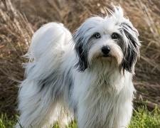 Тибетский терьер Tibetan Terrier