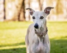 Уиппет (малая английская борзая) Whippet, English Whippet, Snap dog