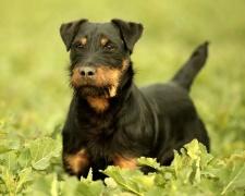 Ягдтерьер Jagd Terrier