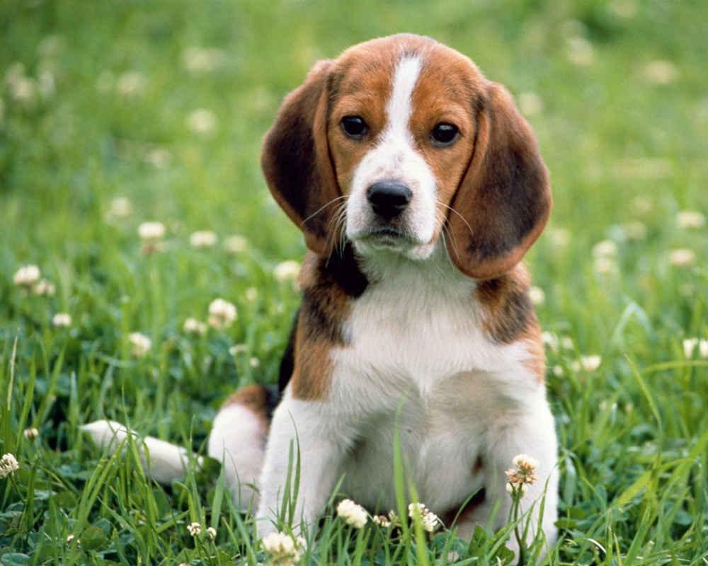 Бигль хорошая и любящая собака-компаньон и просто красавчик ...