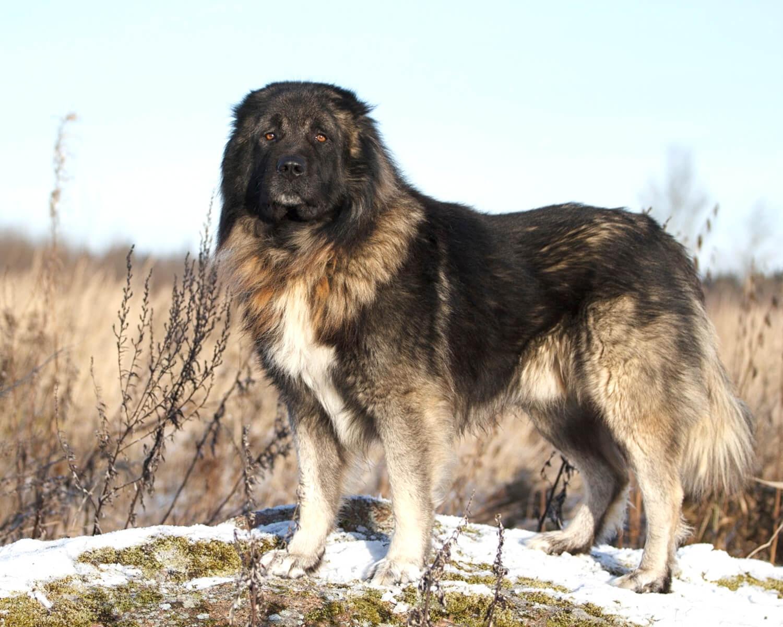 Кавказская овчарка большая сильная крепкая и