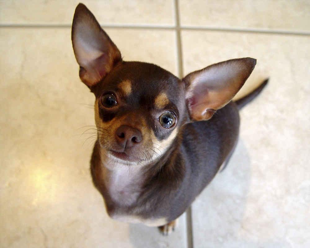 Чихуахуа (Chihuahua) - фото, описание породы, отзывы ... пэрис хилтон