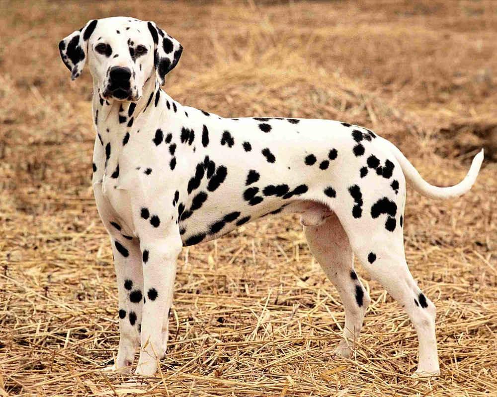 собаки далматинец