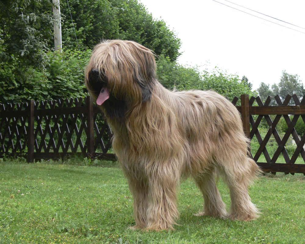 бриар фото собаки