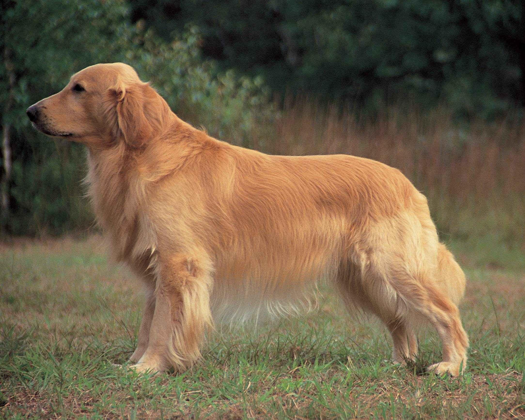 порода собак золотой ретривер картинки оформление украшение