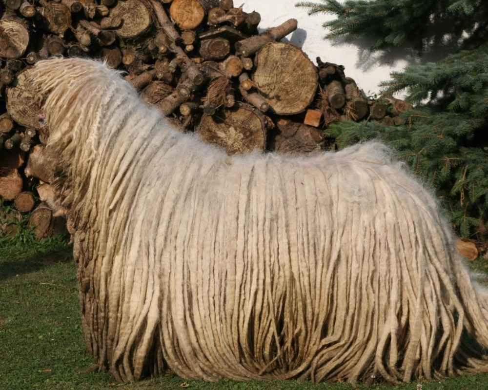 d888eecb3e5f Комондор (Венгерская овчарка) - фото, описание породы, цены, отзывы ...