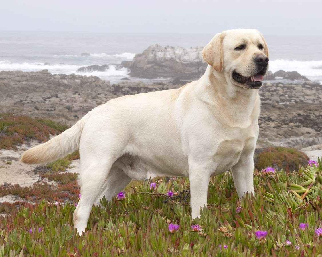http://petsi.net/images/dogphotos/labrador-retriever.jpg