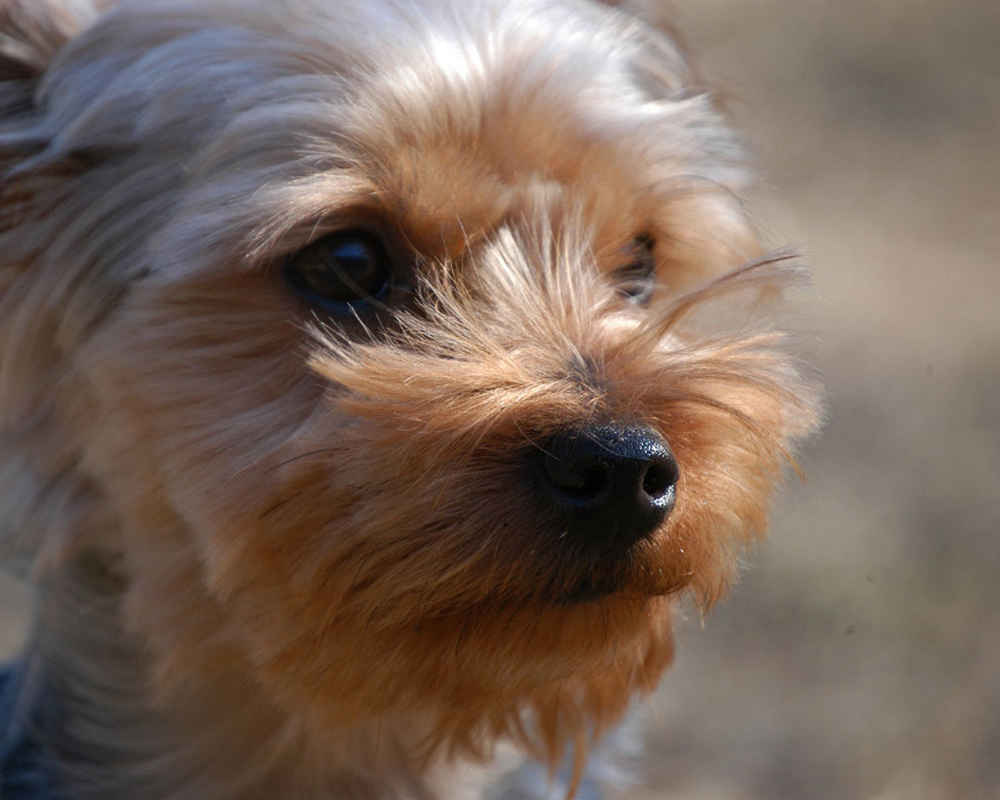 Yorkshire terrier dog breed information  photos - doglers
