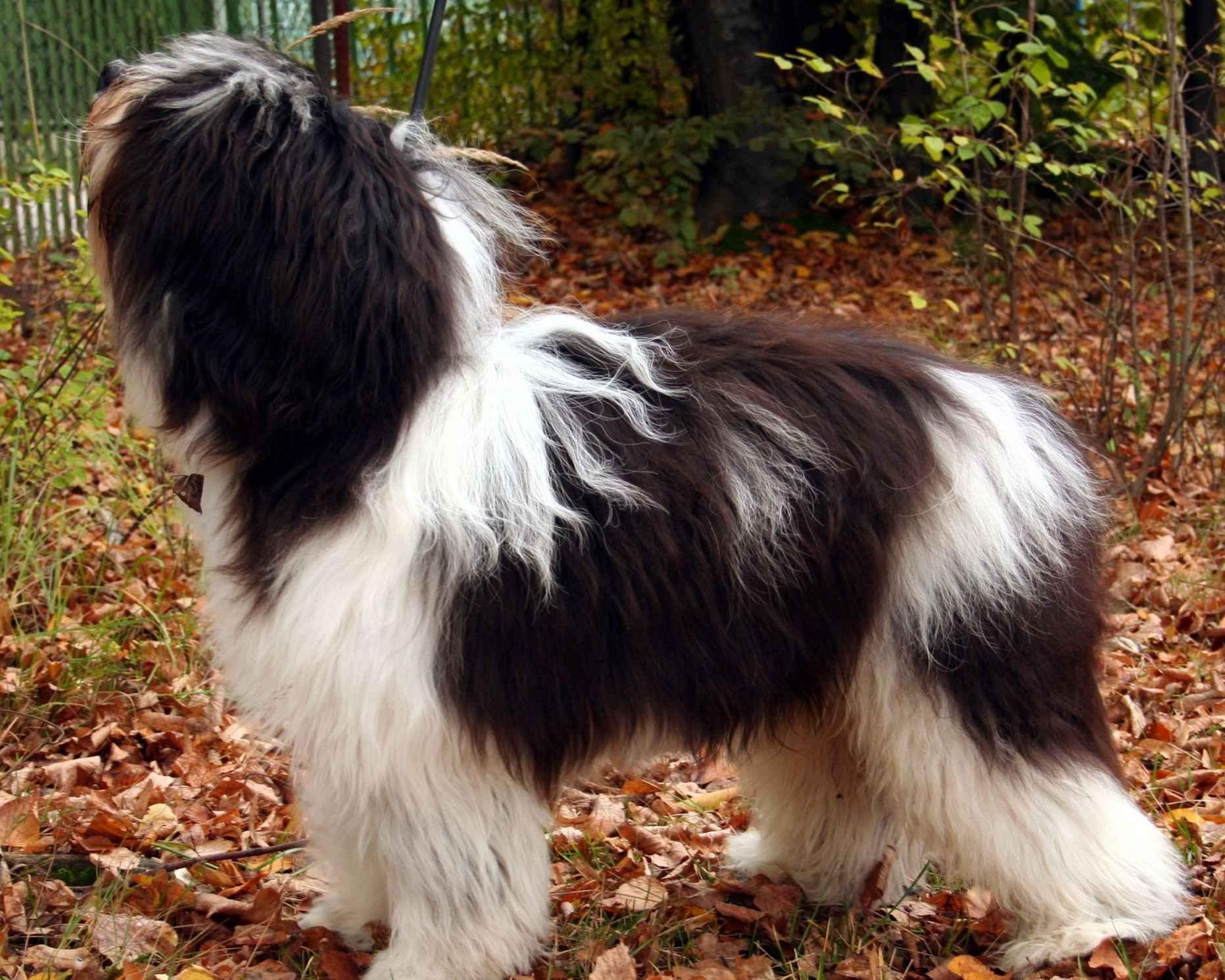 фото низинная польская овчарка