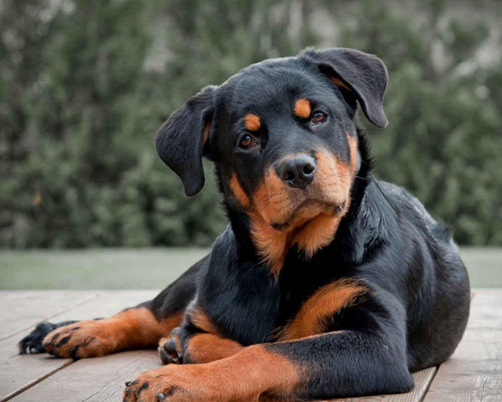 порода собак ротвейлер фото