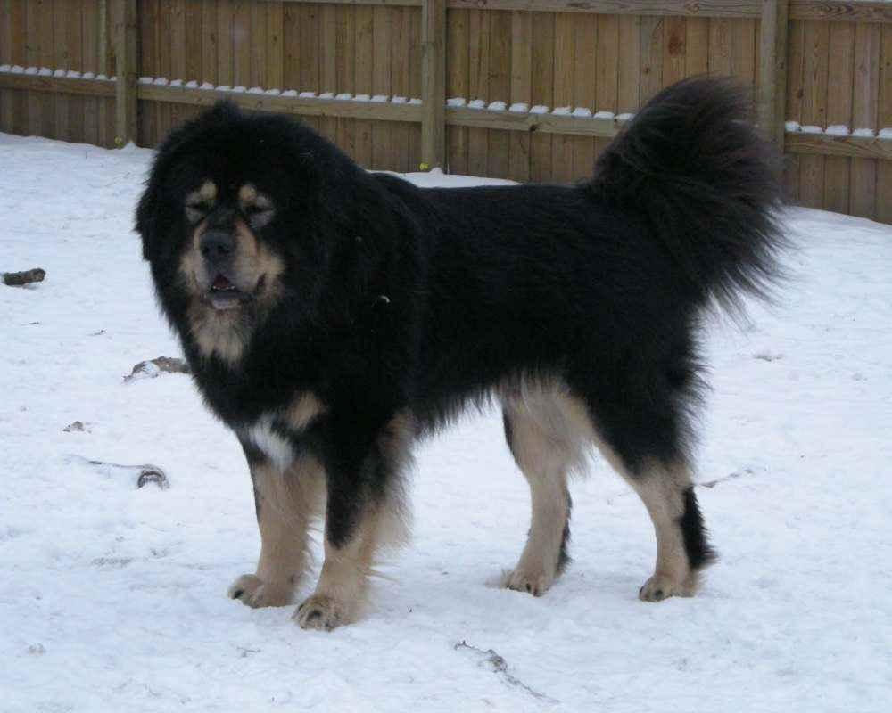 Тибетский мастиф (Tibetan Mastiff) - спокойный, сдержанный ...